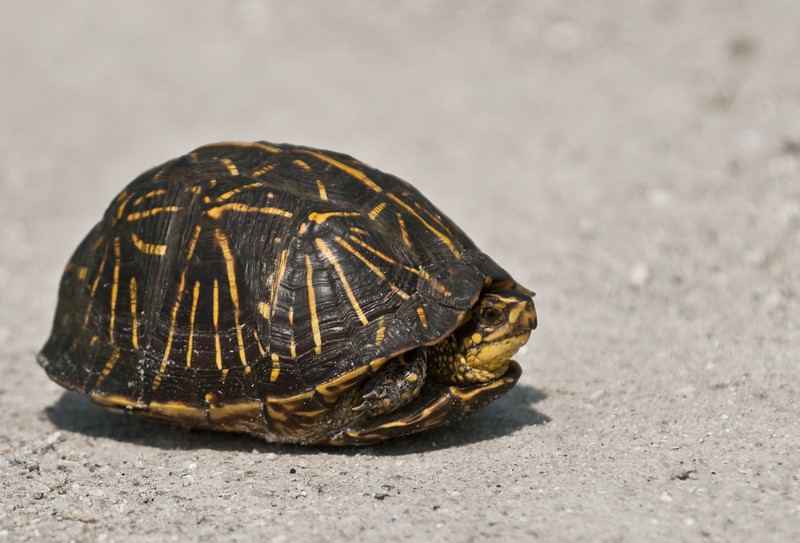Florida Box Turtle crossing the road while we were driving to Moccasin Island Tract