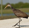 Limpkin just crossing to the other side of the road