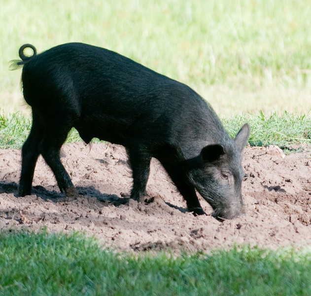 Juvenile pig