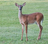 Whitetail Deer - You can't fool me because I can see you