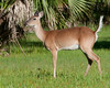 Whitetail Deer - Its tail is up! Guess why?