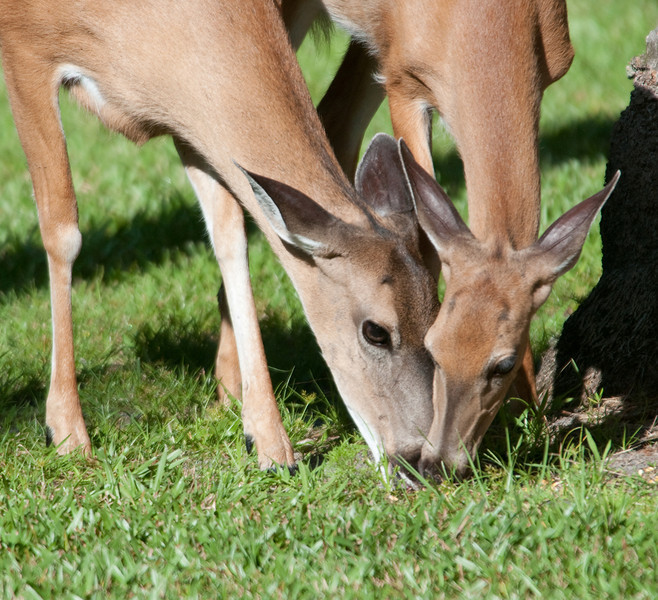 Whitetail Deer - Time to chow down