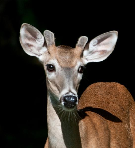 Whitetail Deer - A Buck portrait