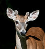 Whitetail Deer - A Buck portrait