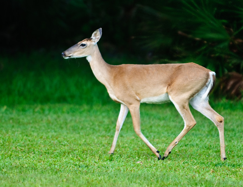 Whitetail Deer - She's on the move