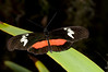 Butterfly - Heliconius Hortense
