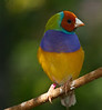 Lady Gouldian Finches - I'm really a colorful little bird
