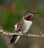 Male Broad-tailed Hummingbird - Not to bad looking for a hummingbird