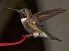 Broad-tailed Hummingbird - Not a bad capture for an amateur photographer