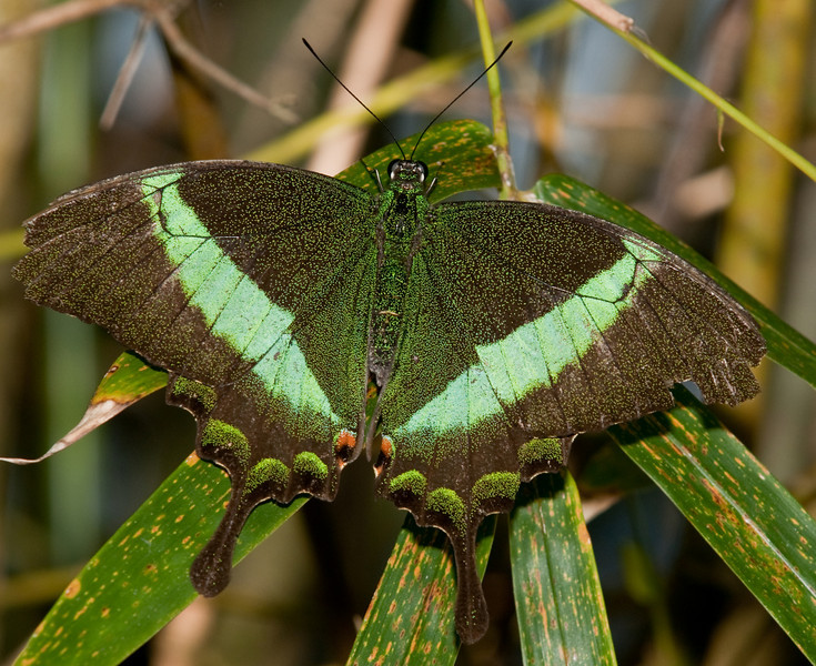 Butterfly - Papillio Palinurus