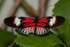 Butterfly - Heliconius Melpomene Madiera