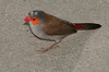 Orange-cheeked Waxbill - Just seeing what is at ground level