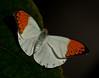 Butterfly - Hebomoia Glaucippe