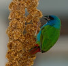 Tricolored Parrot Finch - It's mighty tasty