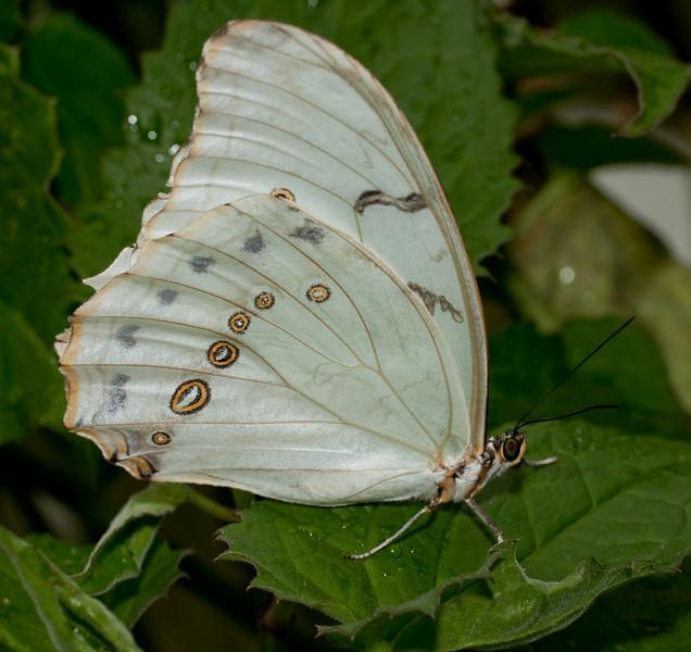 Butterfly - White Morpho