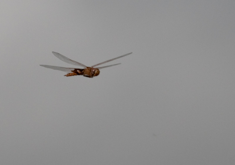 I had nothing to do before I went into Butterfly World, so I photographed Dragonfly In Flight