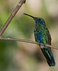 Sparking Violet Ear Hummingbird - I can't hear you. You need to increase your volume