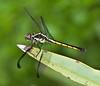 Female Libellula Vibrans Dragonfly