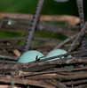 A couple Tricolored Heron eggs