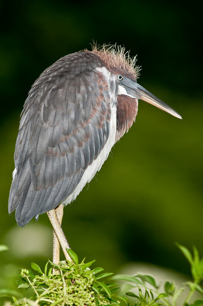 Portrait of Juvenile Tricolored Heron with a blurred background
