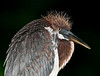 Portrait of Juvenile Tricolored Heron with a dark background