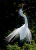 Great Egret showing off its tail feathers