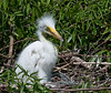 Baby Great Egret