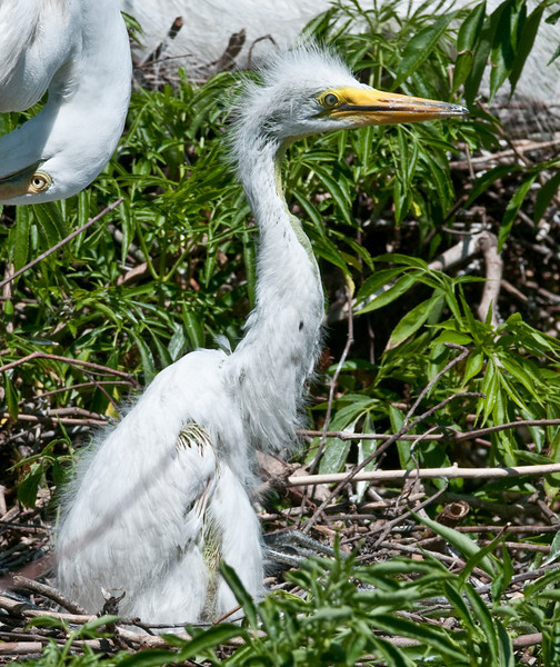 Baby Great Egret stretching its neck