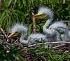 How cute are the Great Egret Chicks?