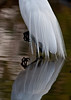 Great Egret showing off its plumage. Just a little abstract