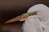 Great Egret breeding colors
