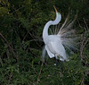 Great Egret showing off its plumage.  A little stuck-up too.