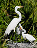 Great Egrets - Lets cut out that fighting now!