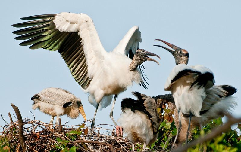 Wood Stork - Somebody is having a little spat!