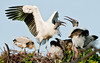 Wood Stork - Somebody is having a little spat!