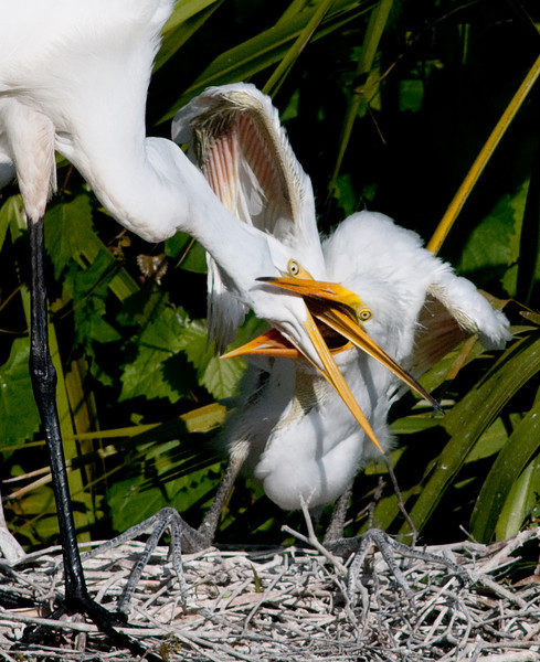 Great Egret - I'm really getting hungry