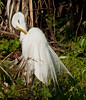 Great Egret doing a little pruning