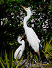 Great Egret - Hey mom come down to my level
