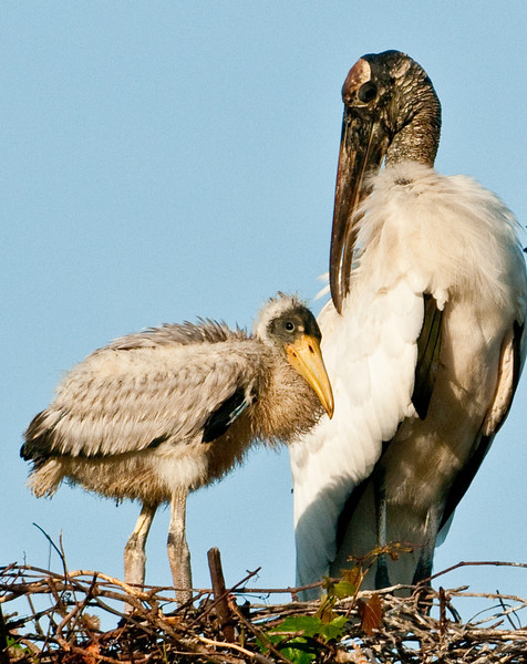 Wood Stork - She makes me feel so good!