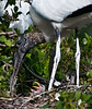 New born Wood Storks