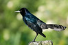 Common Grackle - When the sun hits me right you can see my beautiful colors