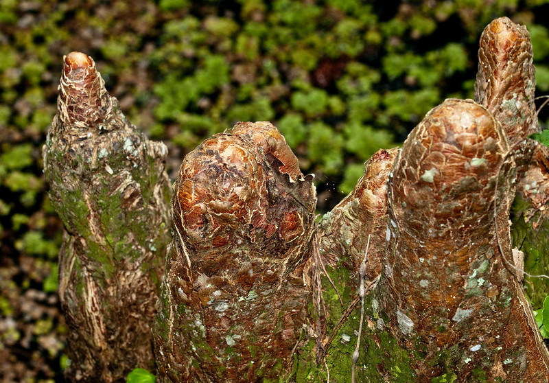 Bald Cypress Knees