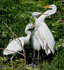 Great Egret - Hey , come on you need to back off