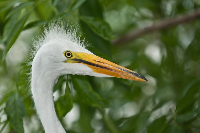 Great Egret - Bad hair day