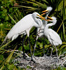 Great Egrets - We finally got your attention