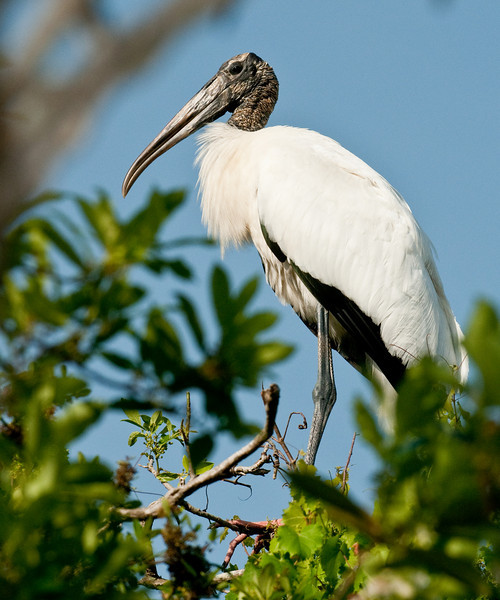 Wood Stork - I just want to be alone for a while!