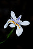 Japanese Iris - Some time called a Butterfly Iris
