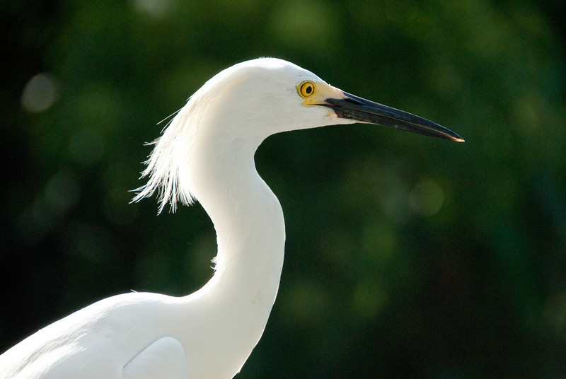 Snowy Egret with side lighting