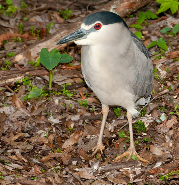 Black-crowned Night-Heron - How come you are up this early?