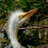 Baby Great Egret - I can see you Mom, so when are you going to feed me?